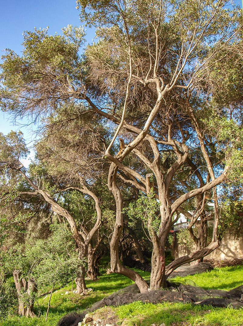 Špeciálne korfu-olivovníky. Vysoké a pokrútené.