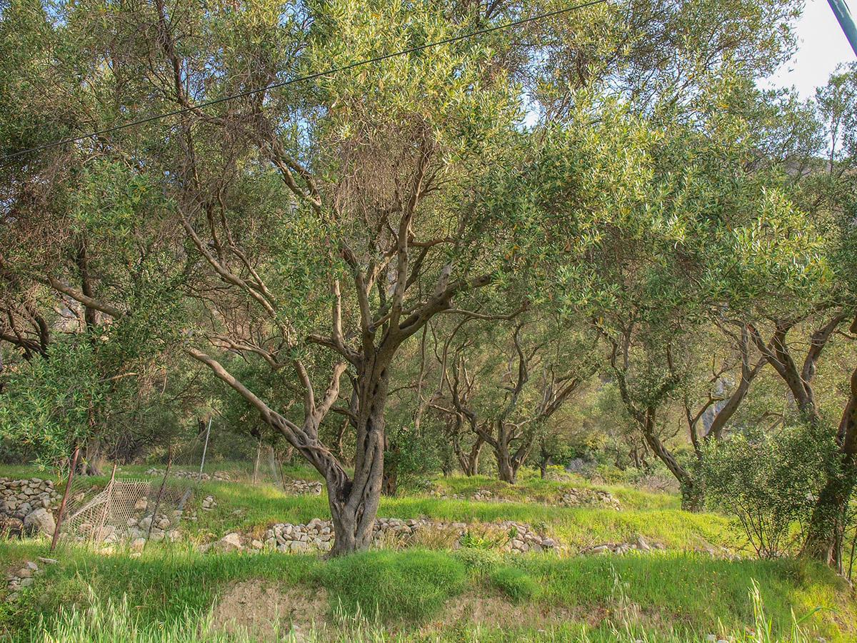Olivový sad.