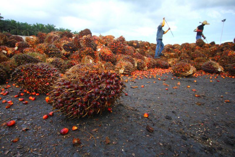 Ťažká práca na palmovej plantáži určite nie je fair-trade. Foto: Shutterstock