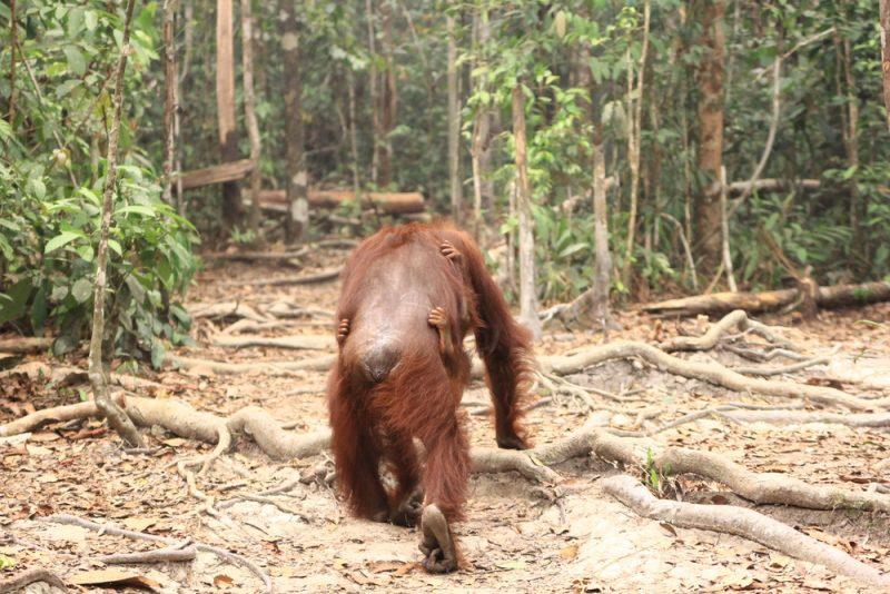 Orangutany, ktoré prežili. Foto: Shutterstock