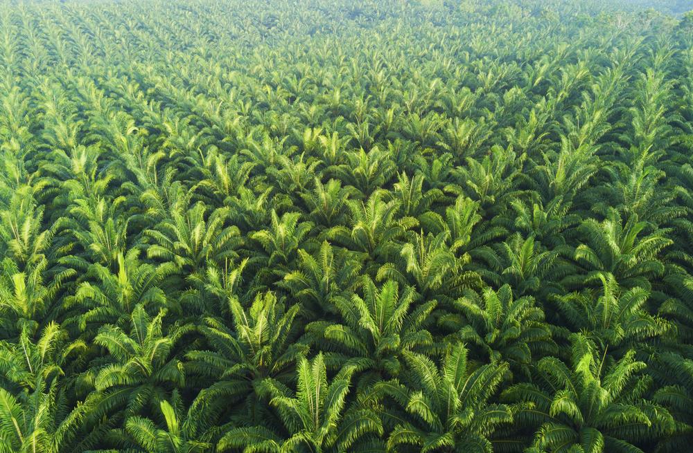Palmový olej. Foto: Shutterstock