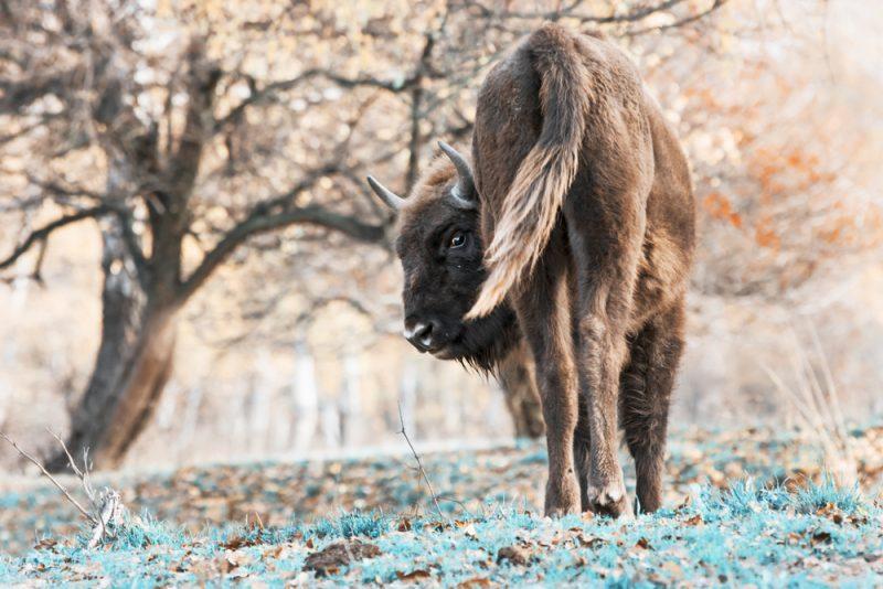 Zubria zvernica. Foto: Shutterstock