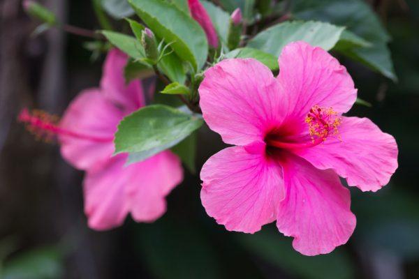 Čínska ruža. Foto: Shutterstock
