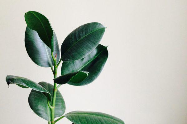 figovník kaučukový. Foto: Shutterstock