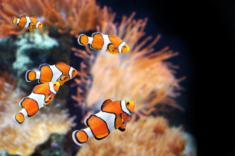 Všetci klauni začínajú svoj život ako samce. Foto: Shutterstock