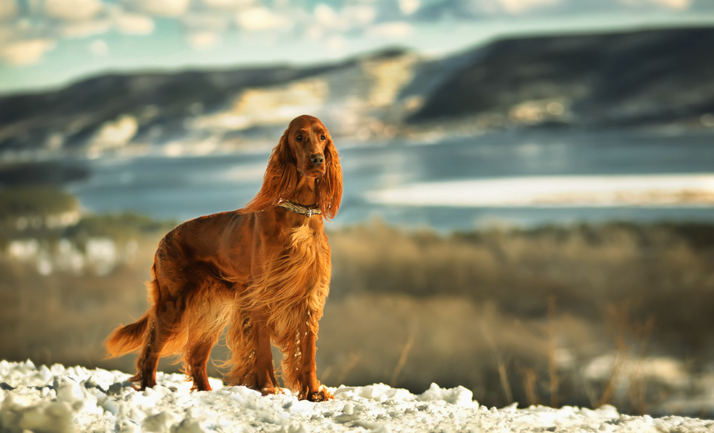 Írsky seter. Foto: Shutterstock