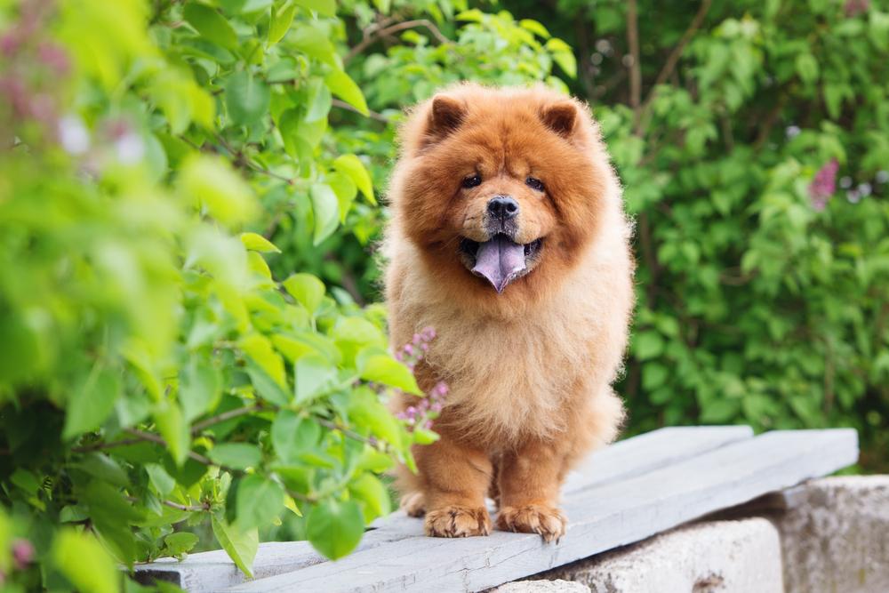 Čau Čau. Foto: Shutterstock