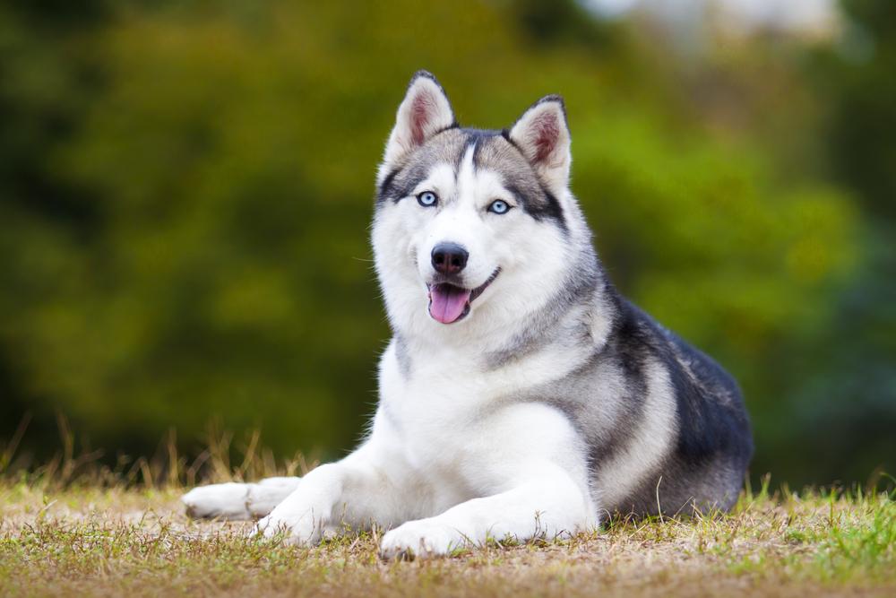 Sibírsky husky. Foto: Shutterstock