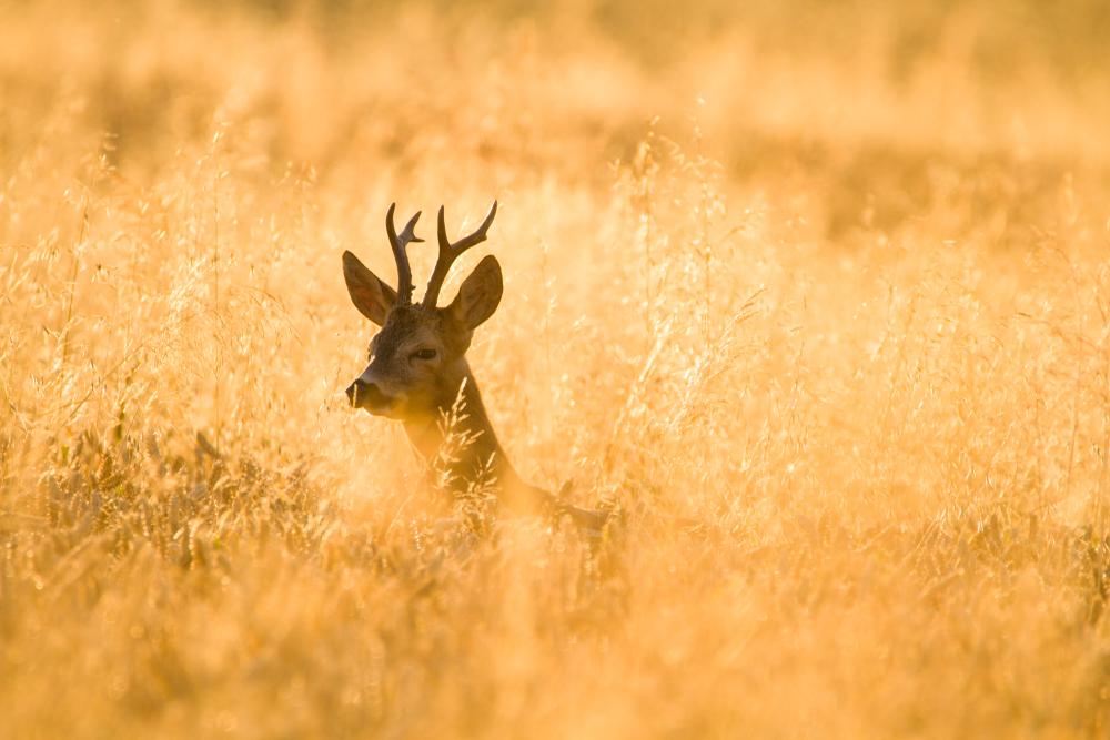 Srnec lesný. Foto: Shutterstock