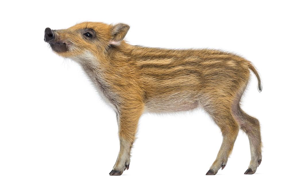 Divá sviňa. Foto: Shutterstock