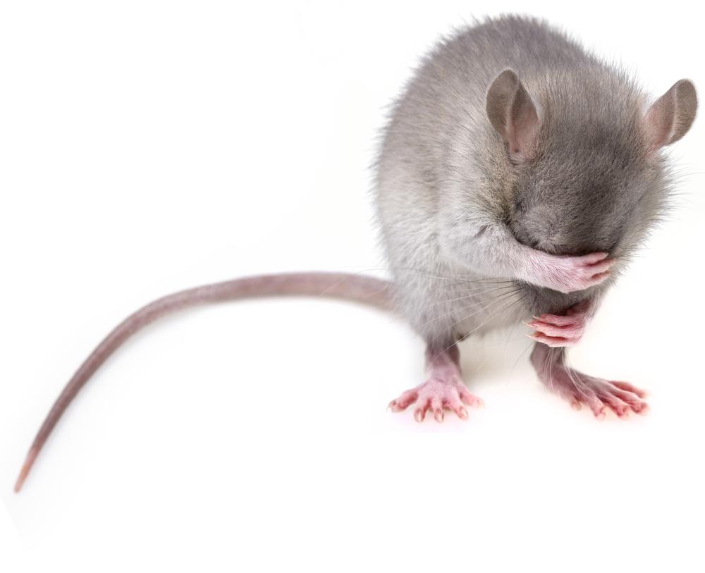 Myš. Foto: Shutterstock