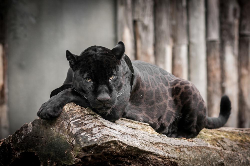 Puma. Foto: Shutterstock