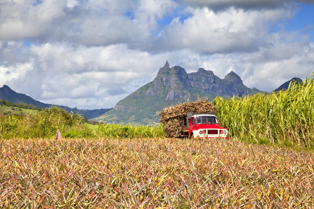 Cukrová trstina na ostrove Maurícius.