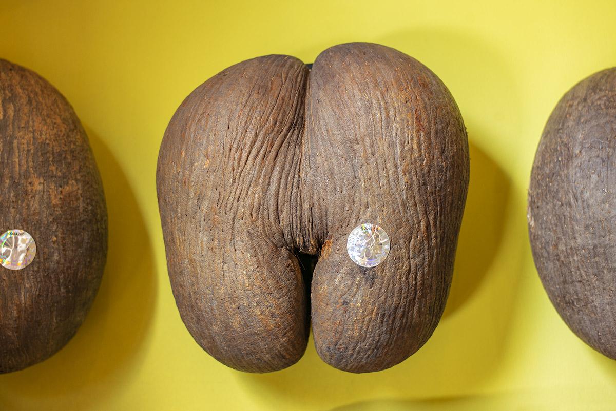 Obrovské orechy lásky. Foto: Bubo