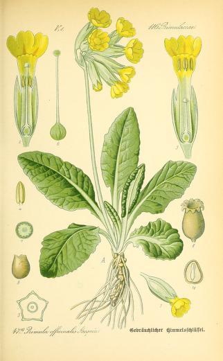 Prvosienka jarná. Obrázok: Biodiversity Heritage Library