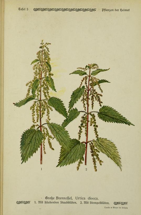 Pŕhľava dvojdomá. Obrázok: Biodiversity Heritage Library