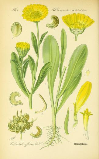 Nechtík lekársky. Obrázok: Biodiversity Heritage Library