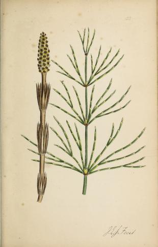 Praslička roľná. Obrázok: Biodiversity Heritage Library