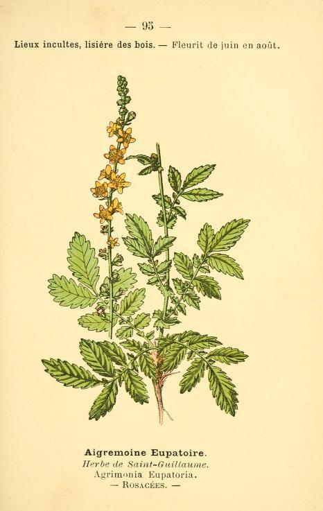 Repík lekársky. Obrázok: Biodiversity Heritage Library