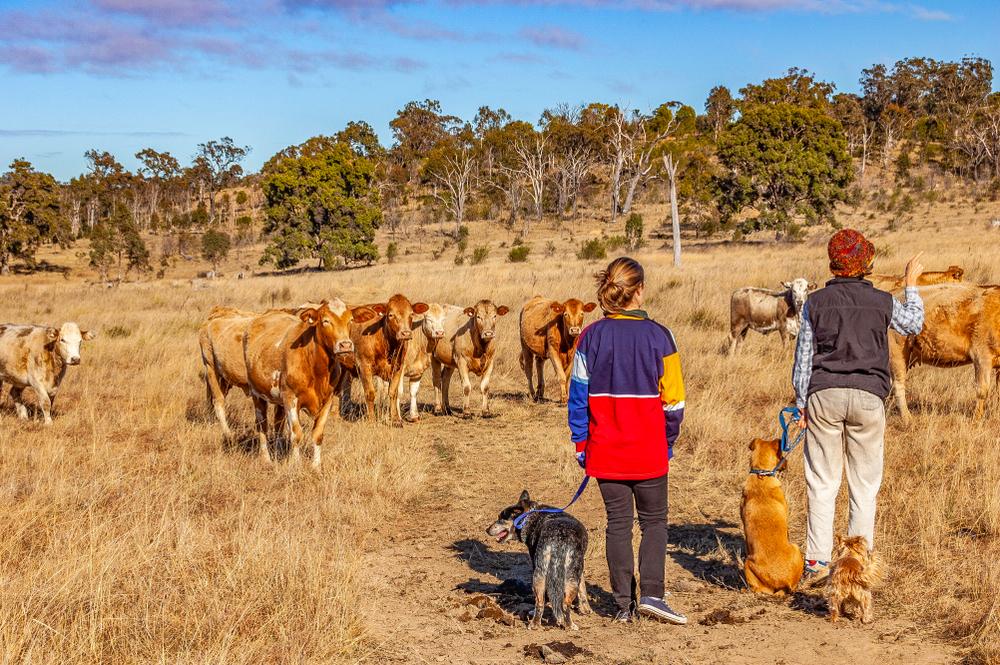 Austrálsky Charbray. Foto: Shutterstock