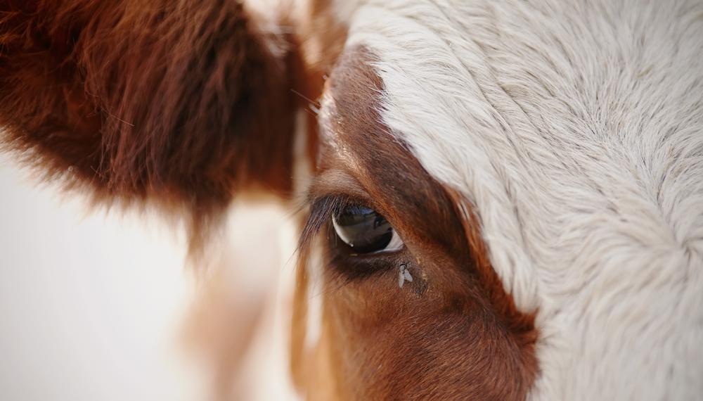 S produktmi od týchto zvierat sa stretávame každý deň – či už jeme na obed hovädzie mäso, pijeme kávu s mliekom, alebo nosíme koženú bundu.. Foto: Shutterstock