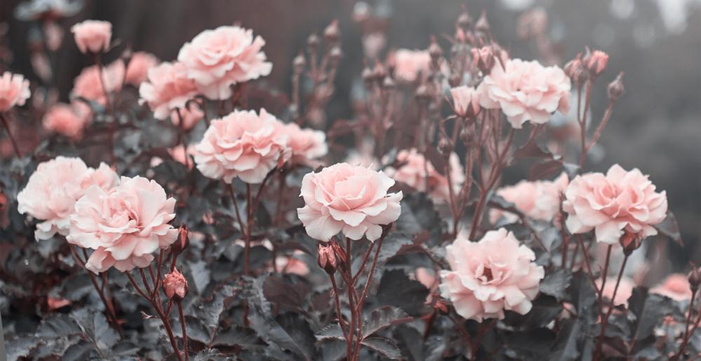 Ruža pomáha so suchou pokožkou a začervenaním. Foto: Shutterstock
