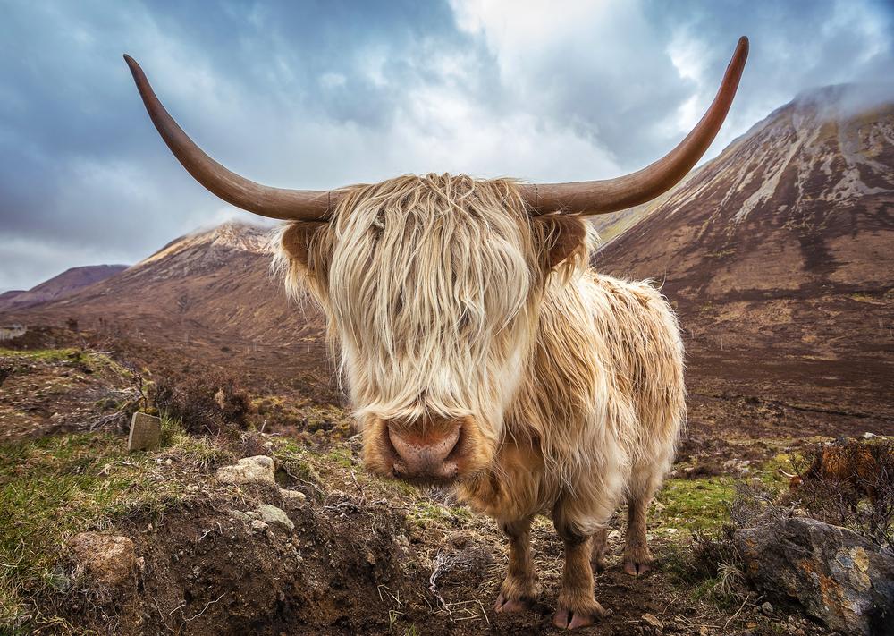 Škótsky dobytok chráni pred zlým počasím huňatá srsť. Foto: Shutterstock