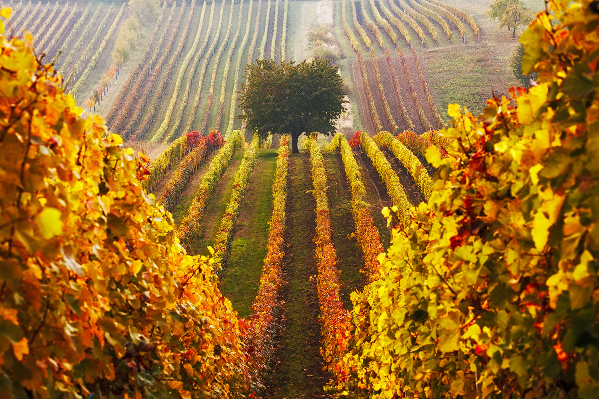 Čejkovice sú pojmom medzi milovníkmi kvalitného vína.