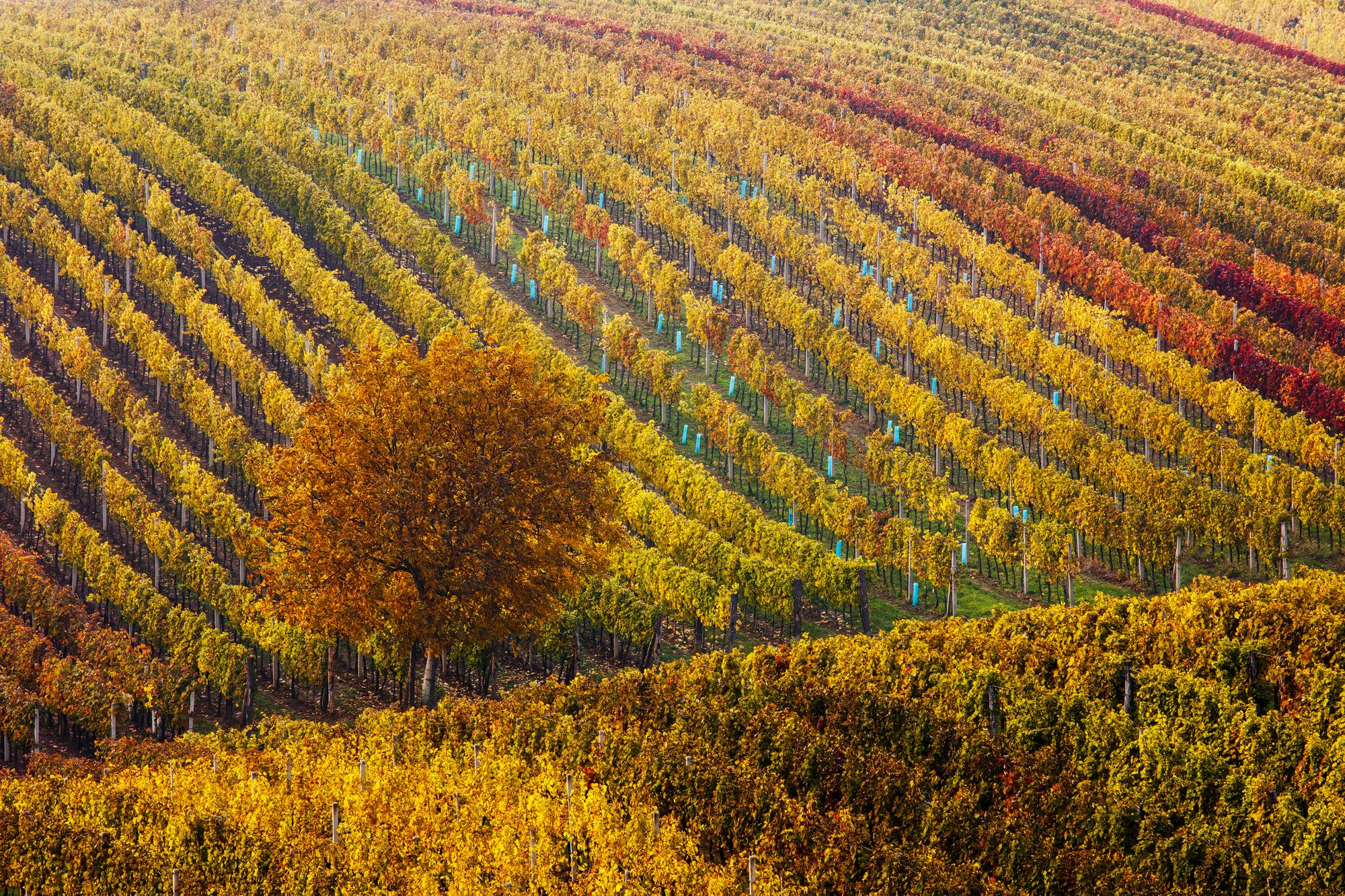 Čejkovice sú pojmom medzi milovníkmi kvalitného vína. Foto: Martin Rak