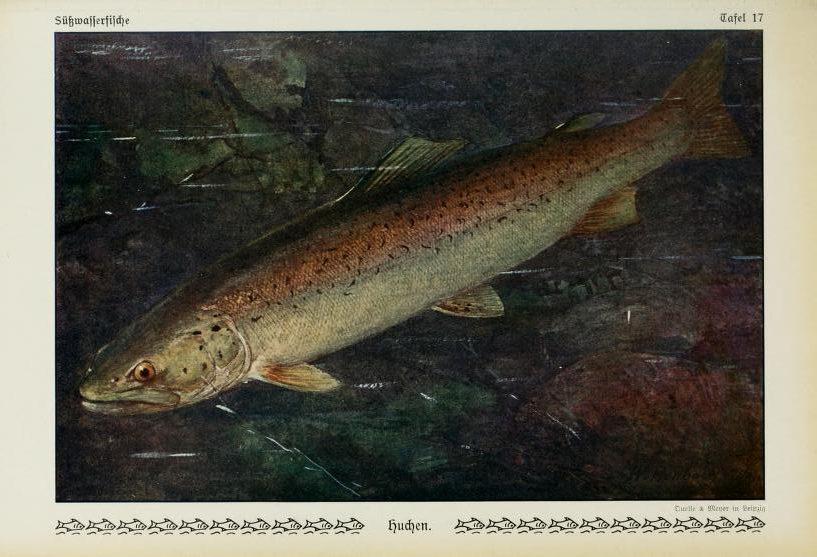 Ryba Hlavátka Podunajská. Ilustrácia: Biodiversity Heritage Library