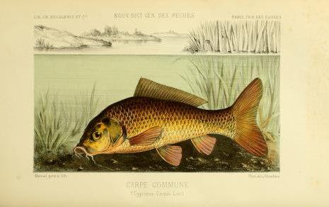 Ryba Kapor obyčajný. Ilustrácia: Biodiversity Heritage Library