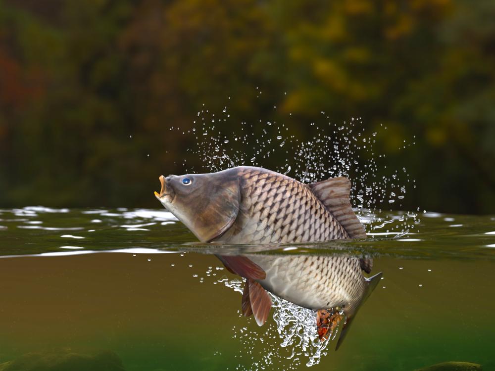 Kapor obyčajný. Foto: Shutterstock