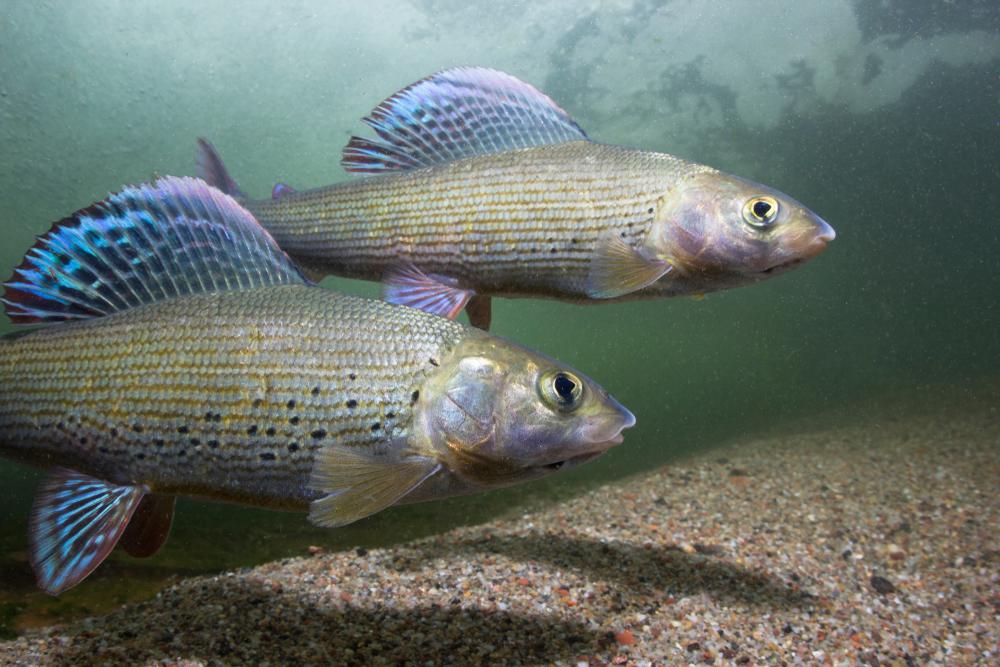 Ryba Lipeň tymiánový. Foto: Shutterstock
