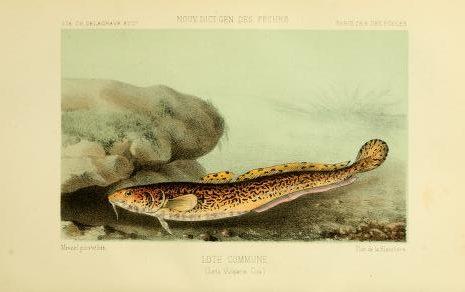 Ryba Mieň sladkovodný. Ilustrácia: Biodiversity Heritage Library