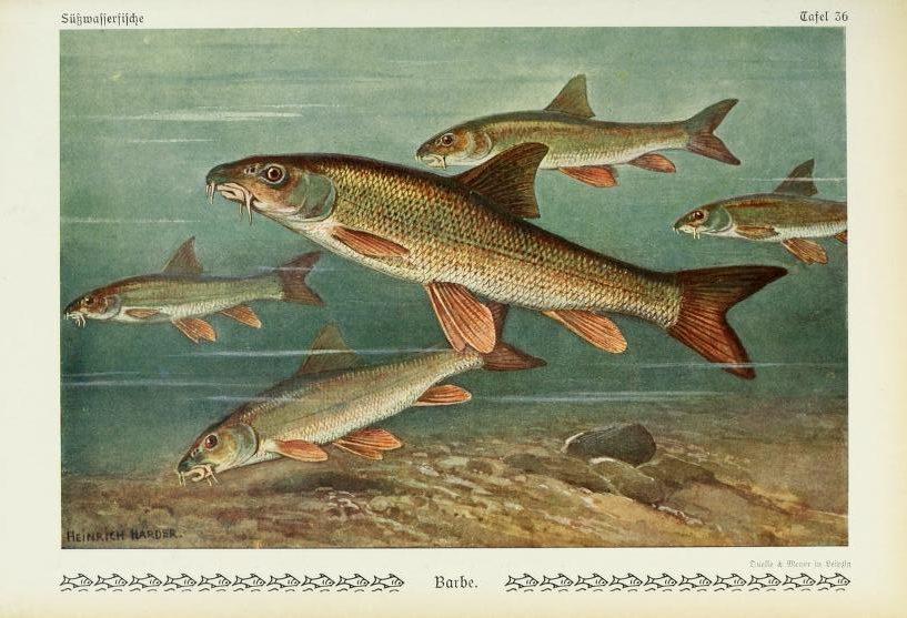 Ryba Mrena severná. Ilustrácia: Biodiversity Heritage Library