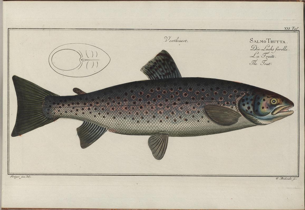 Ryba pstruh potočný. Ilustrácia: Biodiversity Heritage Library