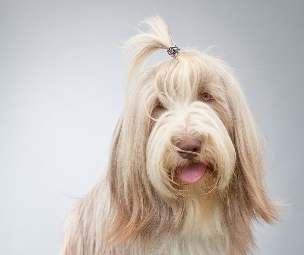Pes Bradatá kólia. Foto: Shutterstock