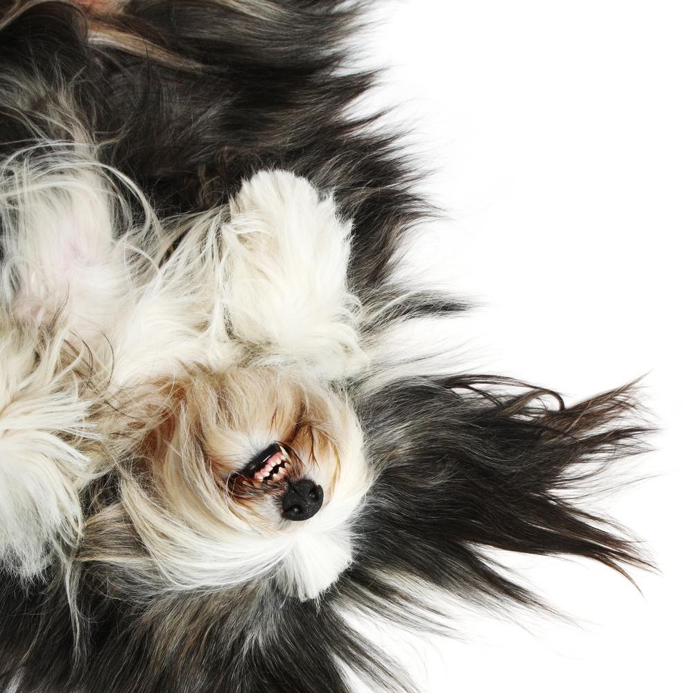 Bradatá kólia. Foto: Shutterstock