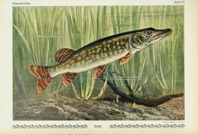 Ryba šťuka severná. Ilustrácia: Biodiversity Heritage Library