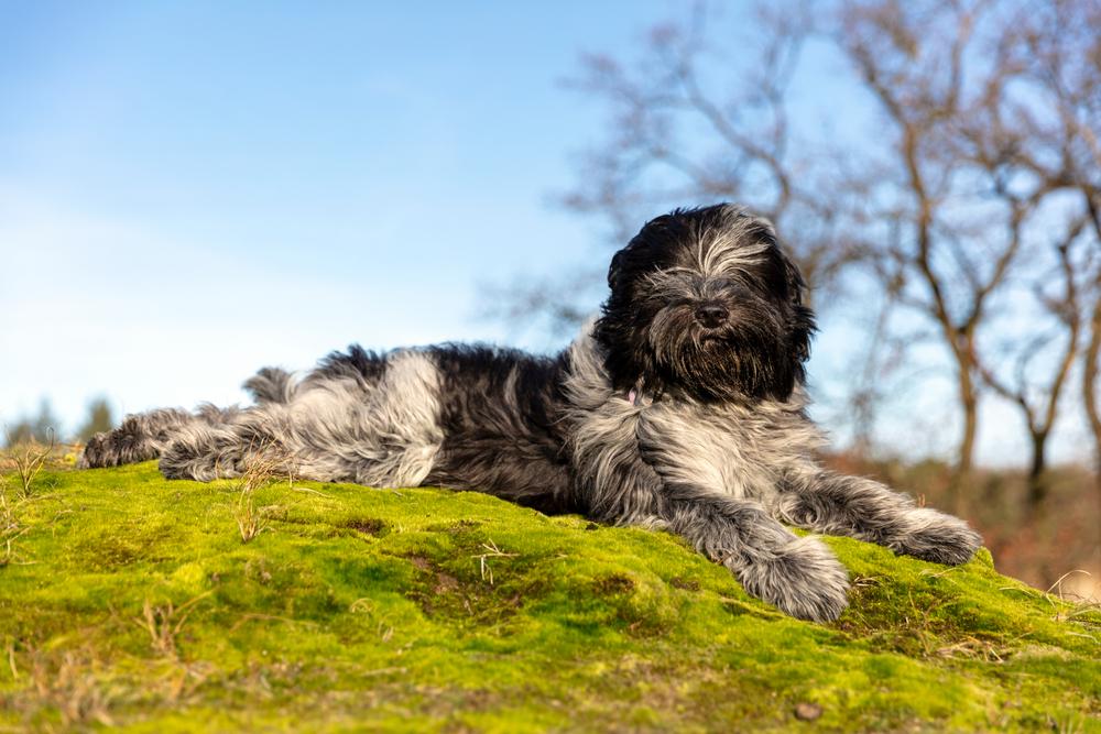 Holandský pastiersky pes. Foto: Shutterstock