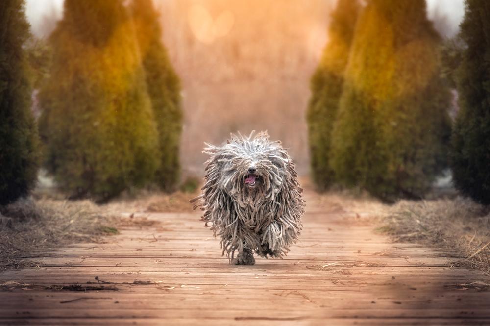 Puli. Foto: Shutterstock