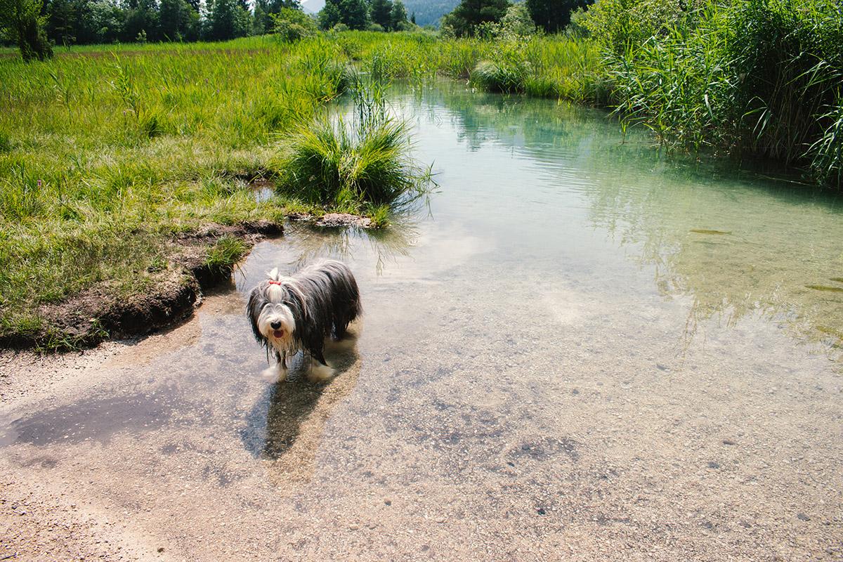 Ami zbadala kačice a rozbehla sa za nimi. Po pár metroch zistila, že je vlastne vo vode. Foto: MS